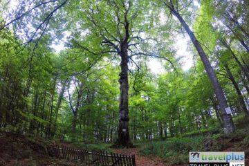 Природна забележителност Големият бук / Golemiyat Buk Nature Landmark